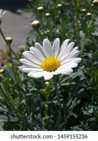 The plant of daisy ox eye featuring daisy ox spring. The botanical family of daisy ox eye is asteraceae.