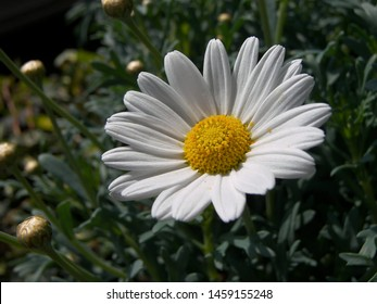 The plant of daisy ox eye featuring daisy ox white garden. The botanical family of daisy ox eye is asteraceae.