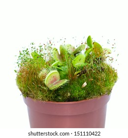 plant Dionaea muscipula close-up