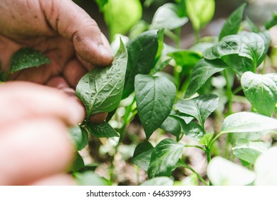 Plant disease and Aphids on young plants, pepper seedlings