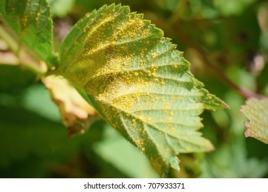 Plant disease detail, Raspberry and Blackberry fungal infection