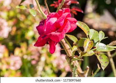 plant disease, fungal leaves spot disease on rose bush causes the damage. Blight, aphid, mushroom Marsonia, chlorosis, powdery mildew canker