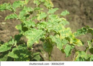 Plant disease on leaf eggplant. pathogen is virus.