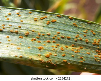 The plant disease 'rust'