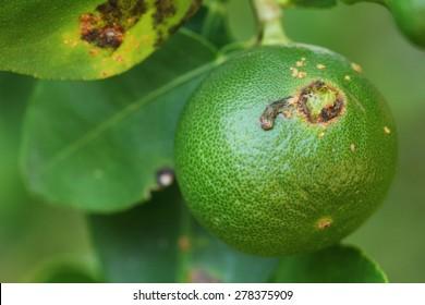 Plant diseases, Citrus canker