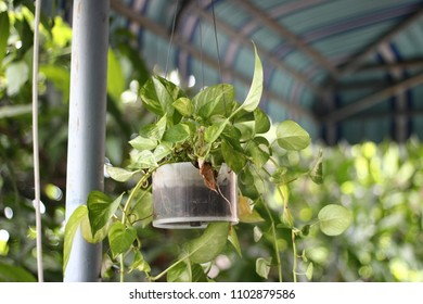 plant in DIY pot. Araceae plant. a Epipremnum aureum plant.CD stack case.