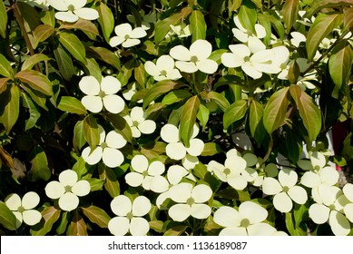 4 petal dogwood images stock photos vectors shutterstock plant of dogwood or cornus kousa tree in full bloom white flowers with four mightylinksfo
