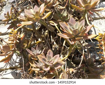 The plant of echeveria featuring leaves. The botanical family of echeveria is crassulaceae.
