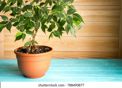 Plant ficus benjamina in a brown pot standing on wooden blue table in front of unpainted wall, natural rustic style