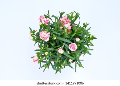 Plant, flower Dianthus name sugar Plum  blooming double pink and white flower, wavy petals, highly scented and green leaves, charming evergreen flower for garden in summer.