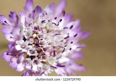Plant Flower Scabiosa Succisa