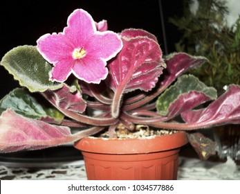 plant flower violet room