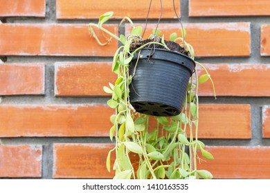 Plant in flowerpot with brown brick background, Growing plant in black plastic flowerpot