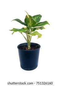 Plant in flowerpot on white background