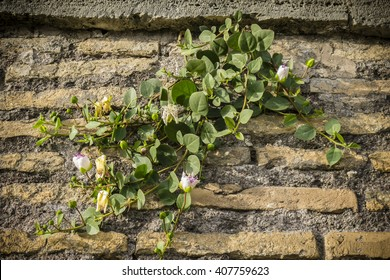 Plant with flowers of Capparis spinosa, caper bush, Flinders rose, growing on an ancient Roman wall in Rome.