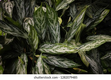 "Plant foliage ""with me nobody can"". Dieffenbachia."