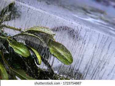 A plant frozen in a block of ice. A live plant trapped in ice. You can see air bubbles. Photo in the studio.