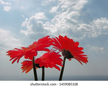The plant of gerbera featuring asteraceae flowers. The botanical family of gerbera is asteraceae.