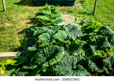Plant of Giant Pumpkin expanding over raised bed and fence