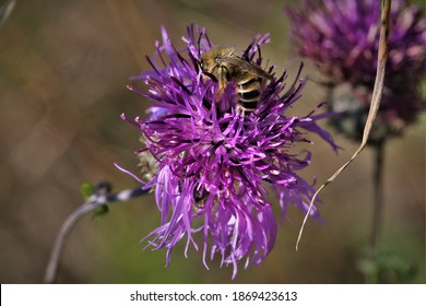 The plant is the greater knapweed (Centaurea scabiosa), and the bee is the pantaloon bee (Dasypoda hirtipes).