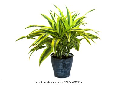 Plant. Green House Plant. Potted Plant. isolated on white. room for text