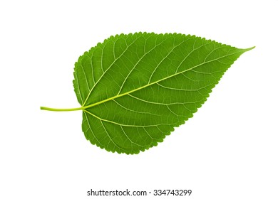 Plant green leaf, taro leaf isolated