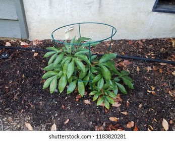 plant with green leaves and metal support cage
