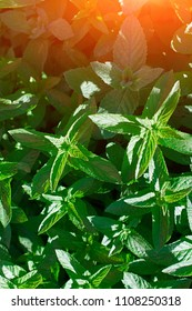 Plant of green mint grows in rays sunlight. Background sheet with aromatic properties at sunset