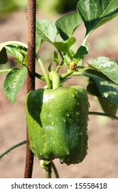 Plant of green pepper with rain drops in the garden