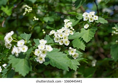 Plant with green stems and white flowers growing in spring day in Moscow, Russia.