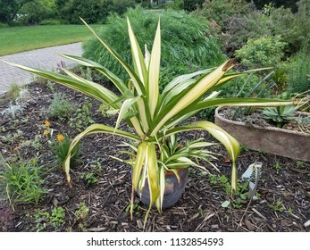 plant with green and yellow leaves in a flower pot