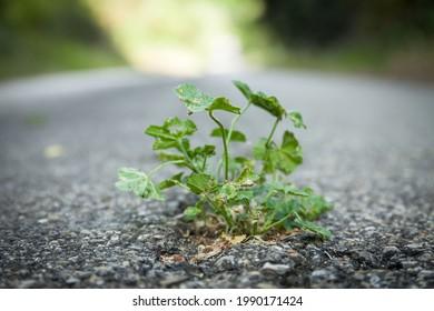 Plante qui pousse entre la fissure d'asphalte. Rue en arrière-plan. Icônes résilience, vie et puissance