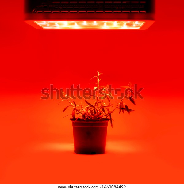 Plant growing in pot with LED grow light. Weed on the pot isolated on a red background. Red LED lighting hanging on top of pot.
