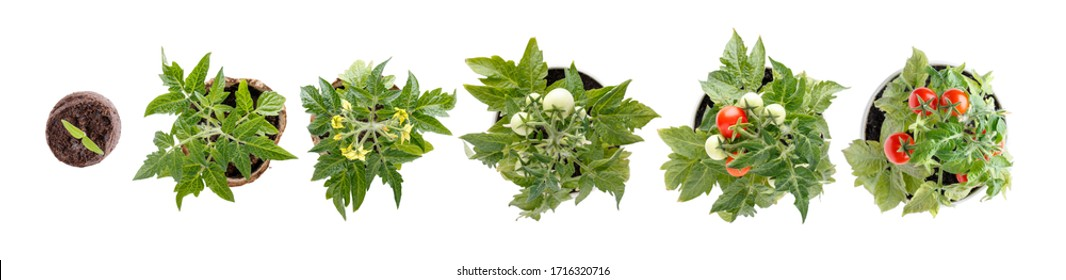Plant growth stages. Life cycle of a tomato -  sprout, leaf, flower and fruit. Home cultivated potted tomatoes isolated on white. Top view.