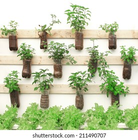 Plant herbs in pots hang on the wall.