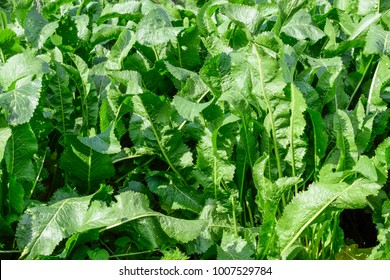 Plant horseradish. Spicy plant in the garden. Horse-radish is common in the garden