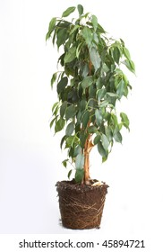 Plant isolated