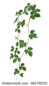 plant isolated ivy green vine climbing tropical. Clipping path