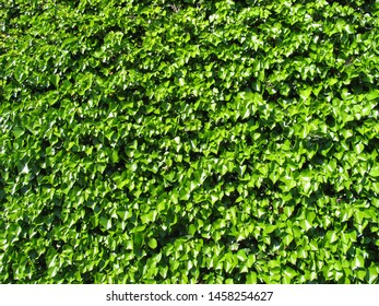 The plant of ivy featuring wall thick. The botanical family of ivy is araliaceae.