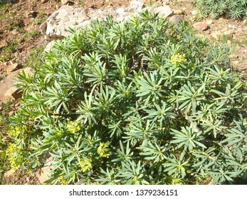 A plant of King Juba's euphorbia (Euphorbia regis-jubae) a native of the Canary Islands, growing in Fuerteventura, Spain