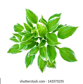 Plant for landscaping  isolated on a white background. Hosta  decorata. Leaves of a green plant with a white fringing.