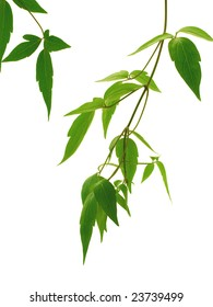 Plant leaves on a white background