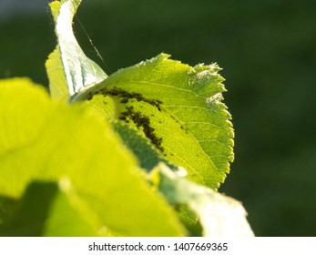 plant louses feasting on an apple tree leaf