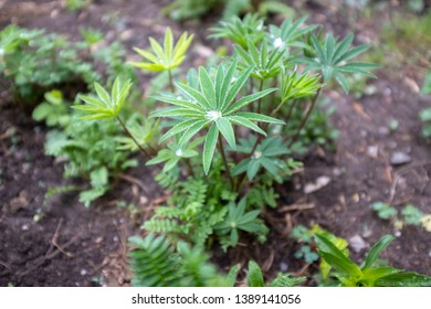 plant of Lupinus (lupin, or lupine) after rain