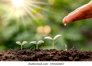 Plant maintenance and water the seedlings that grow in order of germination on fertile soils, concept of water and water the plants.
