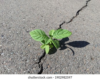 Plant manages to survive in an unnatural environment.