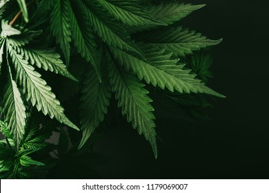 plant marijuana background for your resource about this cannabis plant for treatment and recreation
