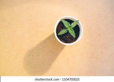 a plant of marijuana, the first true leaflets of a high-quality medical cannabis