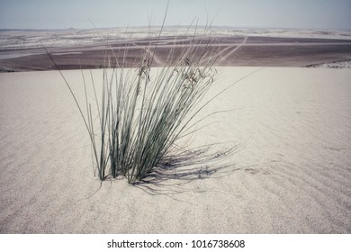 Plant in the middle of the desert, Qatar