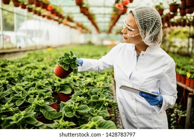 Plant nursery biotechnologist using touchpad and analyzing growth of potted flowers.